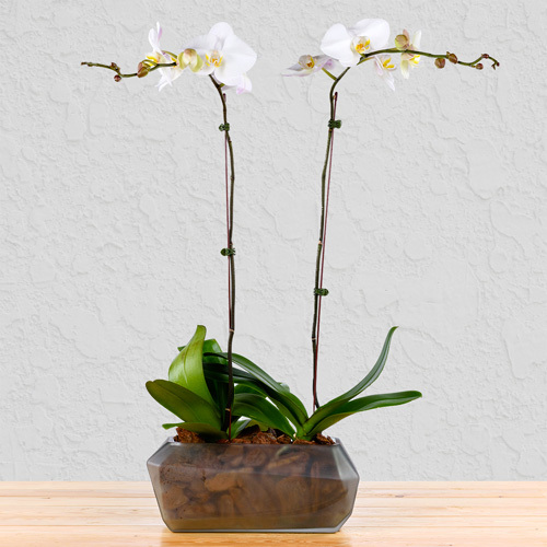 Dream Team Orchids | Buy Flowers in Dubai UAE | Gifts