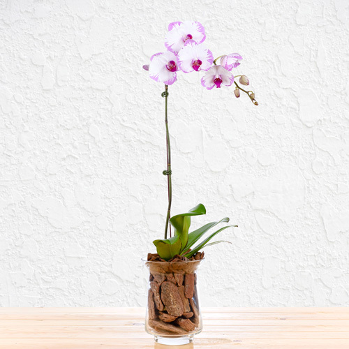 Thoughtful Orchid   Buy Flowers in Dubai UAE   Gifts