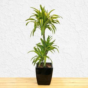 Dracaena Lemon Lime | Buy Flowers in Dubai UAE | Gifts