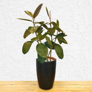 Ficus Elastica | Buy Flowers in Dubai UAE | Gifts