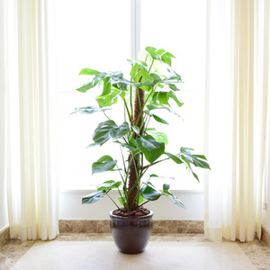 Monstera Plant | Buy Flowers in Dubai UAE | Gifts
