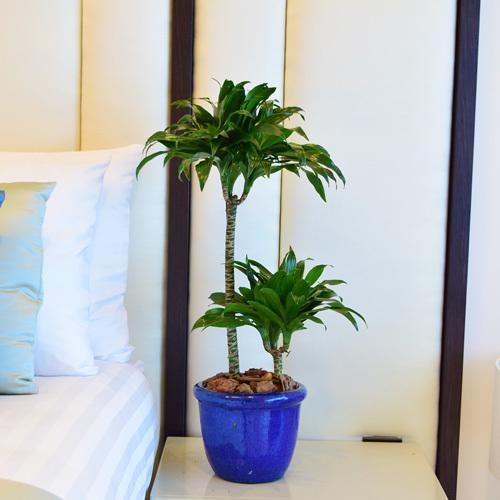 Dracaena Compacta | Buy Flowers in Dubai UAE | Gifts
