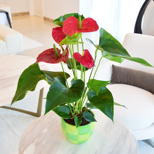 Anthurium Red Buy Flowers In Dubai Uae Gifts