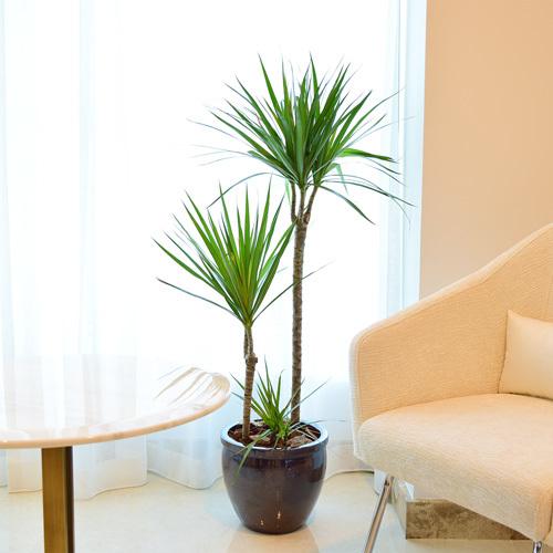 Dracaena Marginata | Buy Flowers in Dubai UAE | Gifts