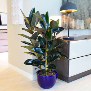 Ficus Elastica Big Plant | Buy Flowers in Dubai UAE | Gifts