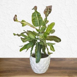 Croton Banana Plant | Buy Flowers in Dubai UAE | Gifts