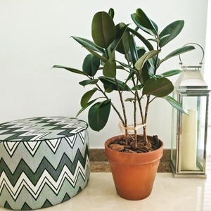 Ficus Forest | Buy Flowers in Dubai UAE | Gifts