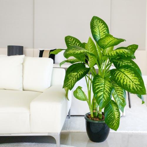 Dieffenbachia Tropic Snow Plant | Buy Flowers in Dubai UAE | Gifts