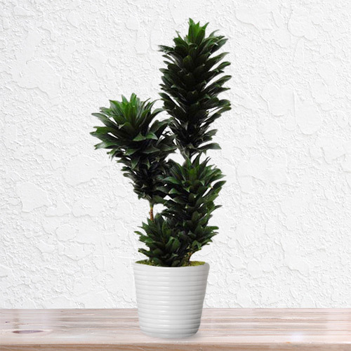 Dracena Compacta Plant   Buy Flowers in Dubai UAE   Gifts