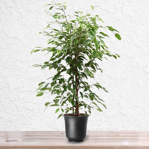 Ficus Golden King Plant | Buy Flowers in Dubai UAE | Gifts