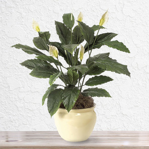 Spathiphyllum | Buy Flowers in Dubai UAE | Gifts
