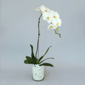 White Orchid | Buy Flowers in Dubai UAE | Gifts