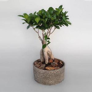 Ginseng Bonsai Plant