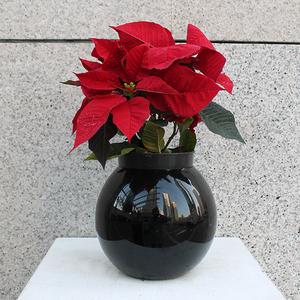 Poinsettia Christmas Plant  Buy Christmas Trees in Dubai UAE   Gifts