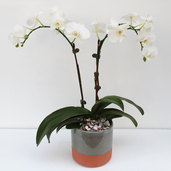 Blessing Orchids | Buy Flowers in Dubai UAE | Gifts