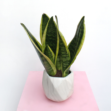 Potted Snake Plant | Buy Flowers in Dubai UAE | Gifts