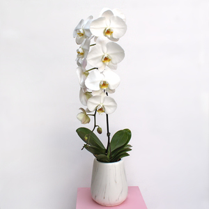 Phalaenopsis Orchid Purity | Buy Flowers in Dubai UAE | Gifts