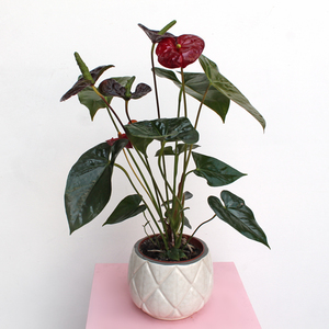 Anthurium Plant - White Pot | Buy Flowers in Dubai UAE | Gifts