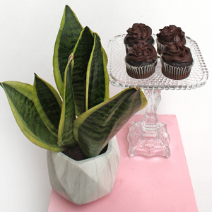 Potted Snake Plant | Chocolate Package | Buy Flowers in Dubai UAE | Gifts