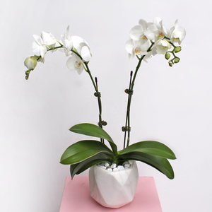 Midi Orchids White   Buy Flowers in Dubai UAE   Gifts