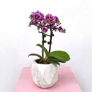 Midi Orchids Purple | Buy Flowers in Dubai UAE | Gifts