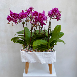 Orchid Grand | Buy Orchids in Dubai UAE | Gifts