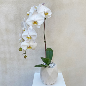 White Orchid Lover | Buy Orchids in Dubai UAE | Gifts