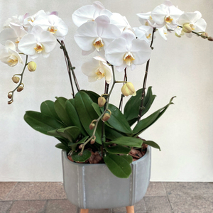 Charming Orchid Plants | Buy Orchids in Dubai UAE | Gifts