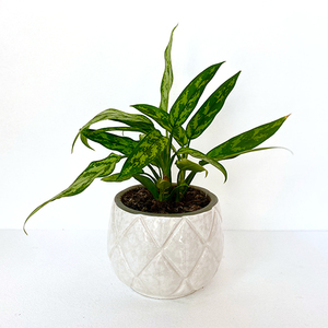 Aglaonema Potted Plant | Buy Plants in Dubai UAE | Gifts