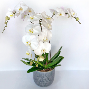 3 Orchid Plants Blue Pot | Buy Orchids in Dubai UAE | Gifts