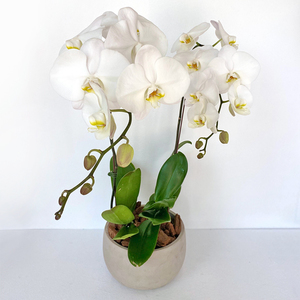 2 Orchid Plant Potted | Buy Orchids in Dubai UAE | Gifts