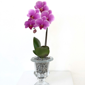 Graceful Mini Orchid | Buy Orchids in Dubai UAE | Gifts