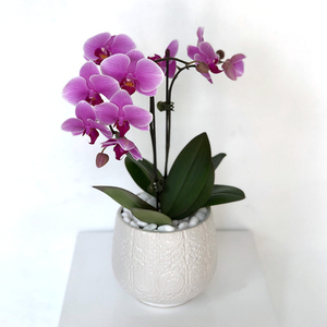 Graceful Double Mini Purple Orchid | Buy Orchids in Dubai UAE | Gifts