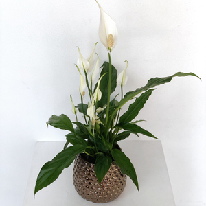 Spathiphyllum Plant Small | Buy Flowers in Dubai UAE | Gifts