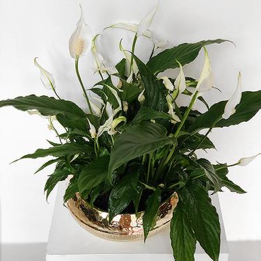 Spathiphyllum Plant | Buy Flowers in Dubai UAE | Gifts